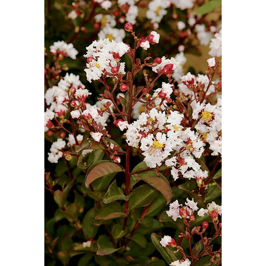 Monrovia 3.58-Gallon Burgundy Cotton Crape Myrtle P14438 Flowering Tree