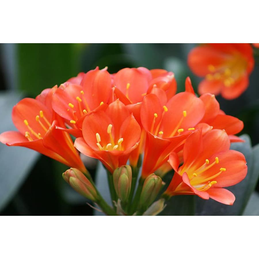 Monrovia 3-Quart Belgian Hybrid Orange Bush Lily