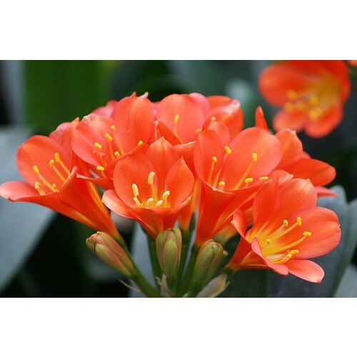 Monrovia 1 6 Gallon In Pot Belgian Hybrid Orange Bush Lily At
