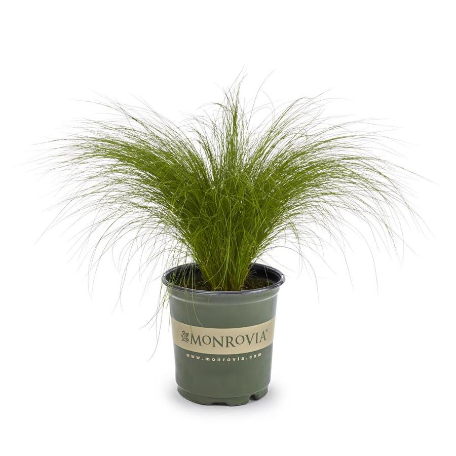 Monrovia 3-Quart Mexican Feather Grass