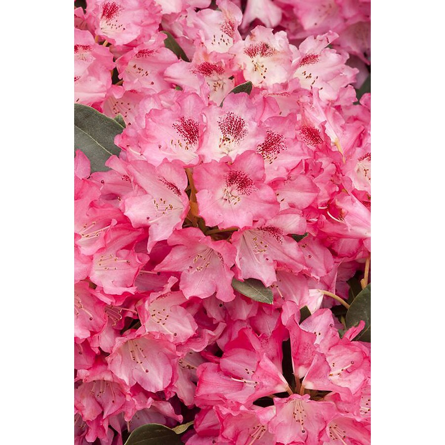 Monrovia 3.58-Gallon Pink Anna Rose Whitney Rhododendron Flowering Shrub