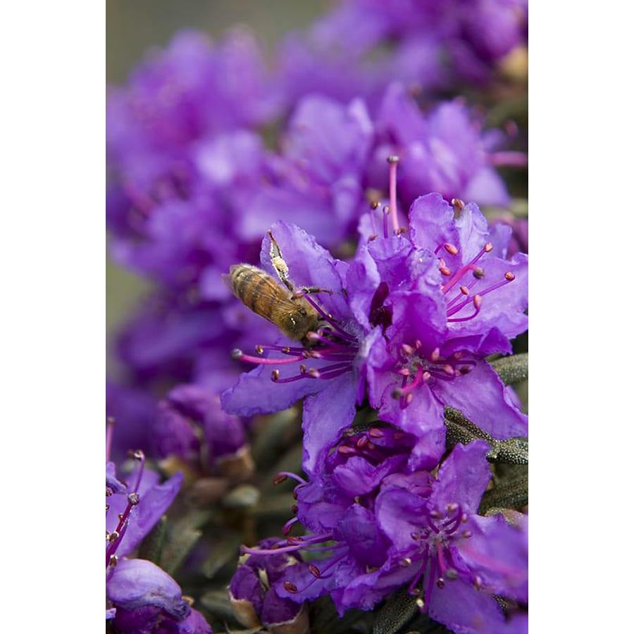 Monrovia 2.6-Quart Purple Dwarf Purple Rhododendron Flowering Shrub