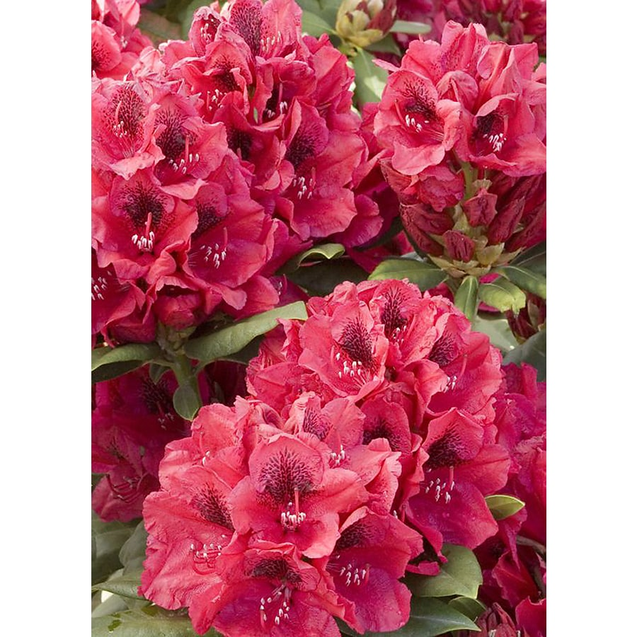 Monrovia 1.6-Gallon Red Lord Roberts Rhododendron Flowering Shrub