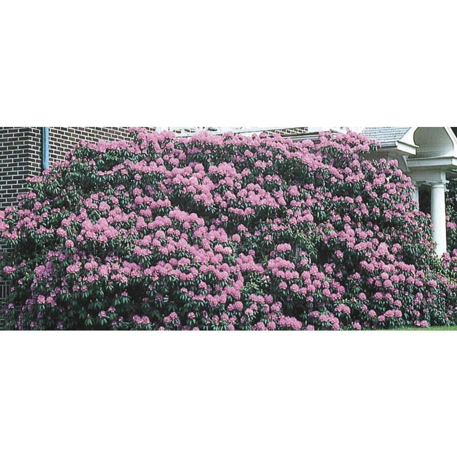 Monrovia 1.6-Gallon Pink Roseum Elegans Rhododendron Flowering Shrub (L3020)