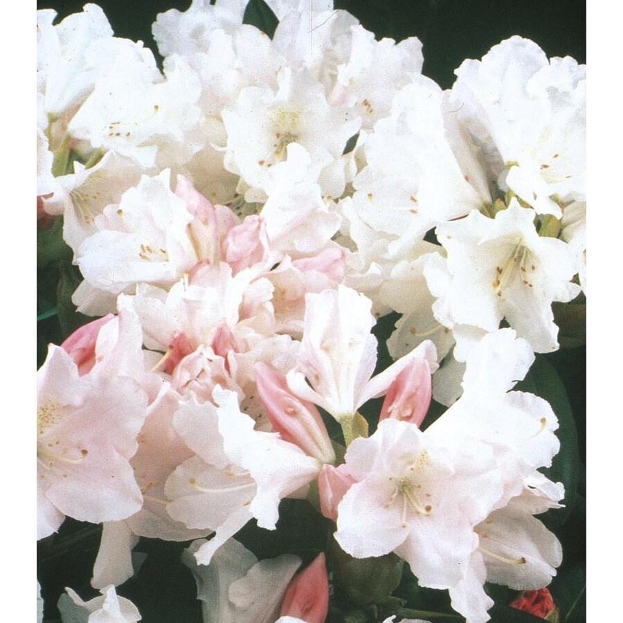 Monrovia 1.6-Gallon Pink Yaku Princess Rhododendron Flowering Shrub (L10920)