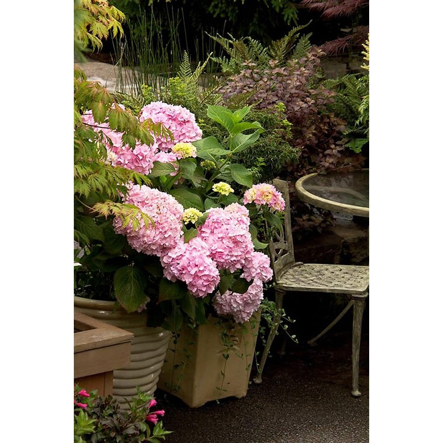 Monrovia 2.6-Quart Mixed Penny Mac Hydrangea Flowering Shrub