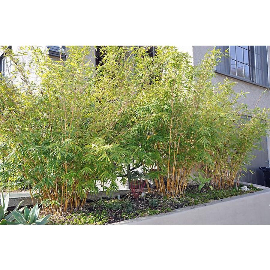 Monrovia 3.58 Gallon Alphonse Karr Bamboo