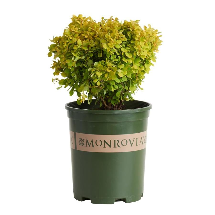 Monrovia 2.6-Quart Golden Nugget Dwarf Japanese Bar Feature Shrub