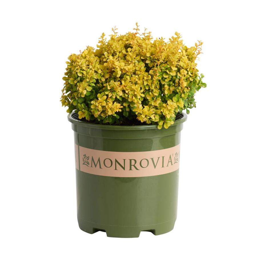 Monrovia 1.6-Gallon Golden Nugget Dwarf Japanese Bar Feature Shrub