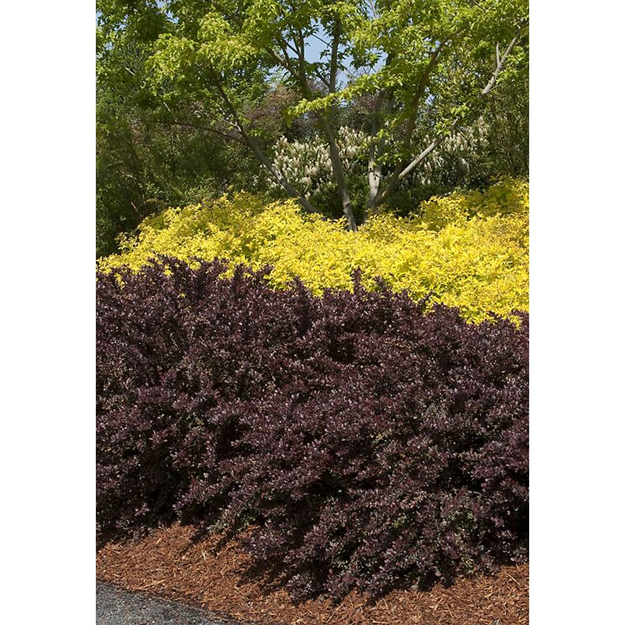 Monrovia 2.6-Quart Crimson Pygmy Dwarf Japanese Barberry Feature Shrub
