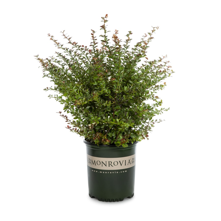 Monrovia 1.6-Gallon Crimson Pygmy Dwarf Japanese Barberry Feature Shrub