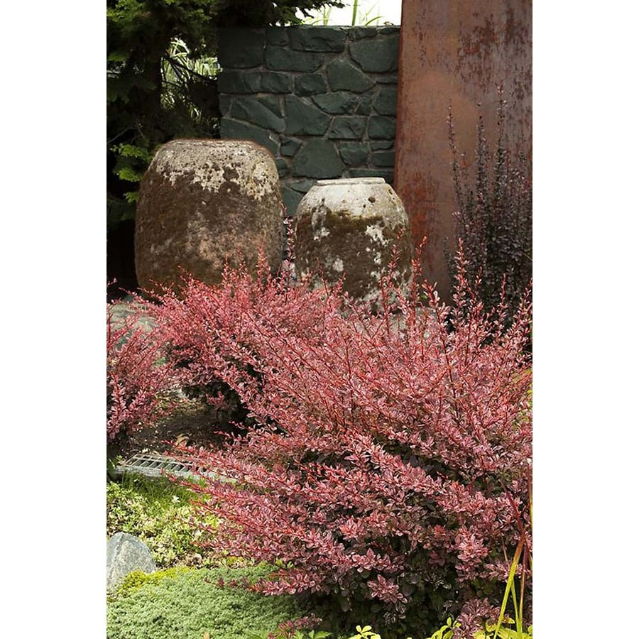Monrovia 1.6-Gallon Rose Glow Japanese Barberry Feature Shrub