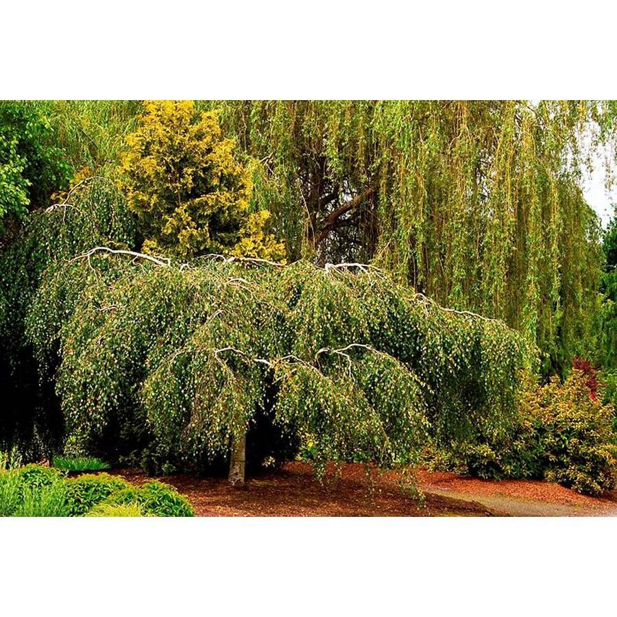 Monrovia 3.58-Gallon Young's Weeping Birch Shade Tree