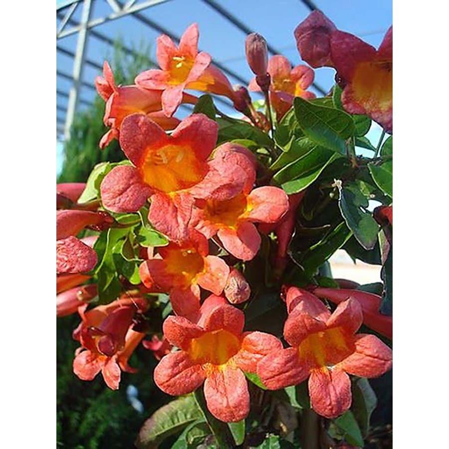 Monrovia 3.6 Gallon- Tangerine Beauty Crossvine