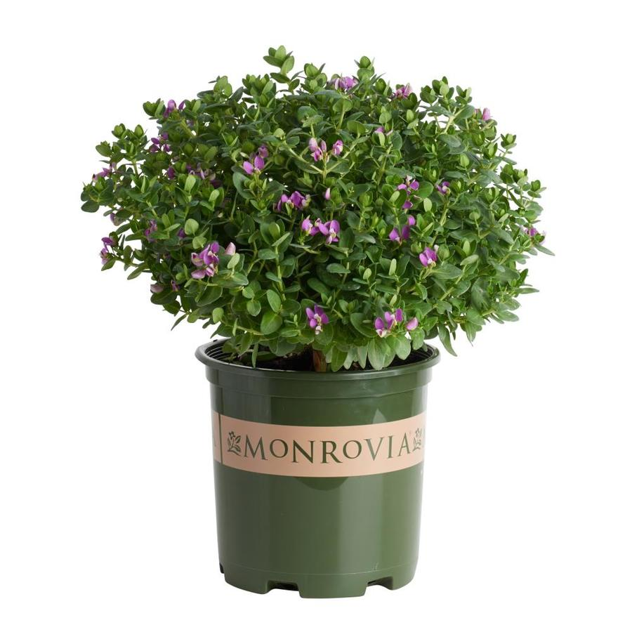 Monrovia 1.6-Gallon Purple Sweet Pea Bush Flowering Shrub (L7149)