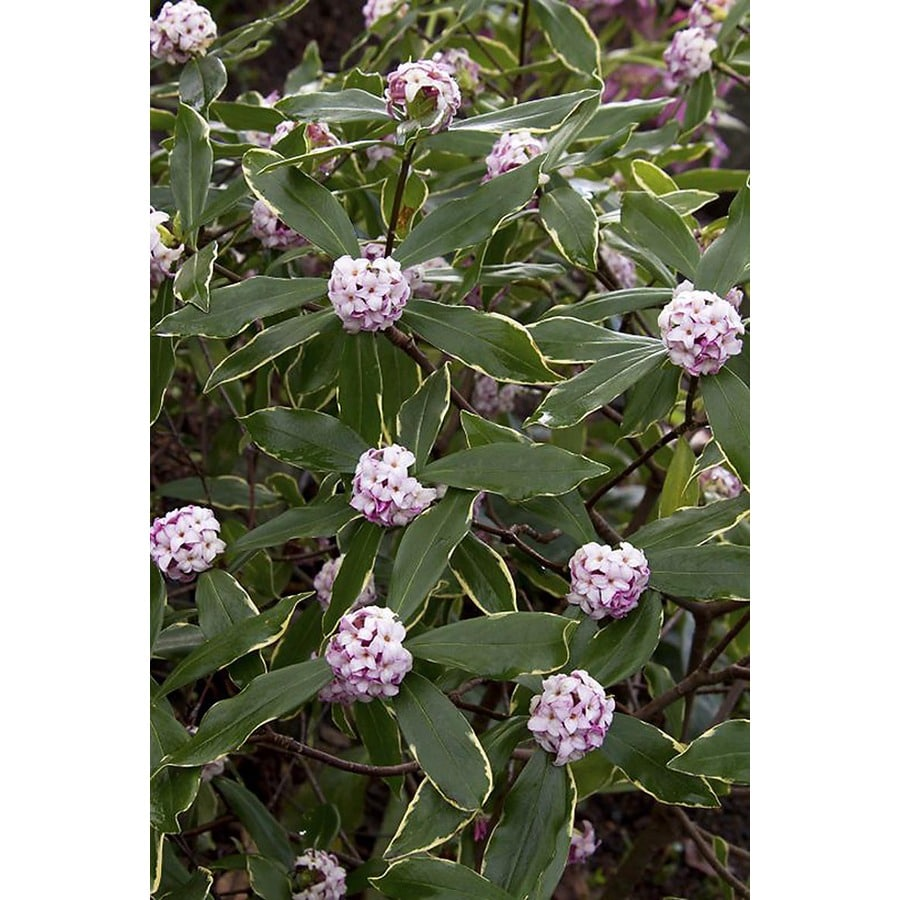 Monrovia 2.8-Gallon White Variegated Winter Daphne Flowering Shrub