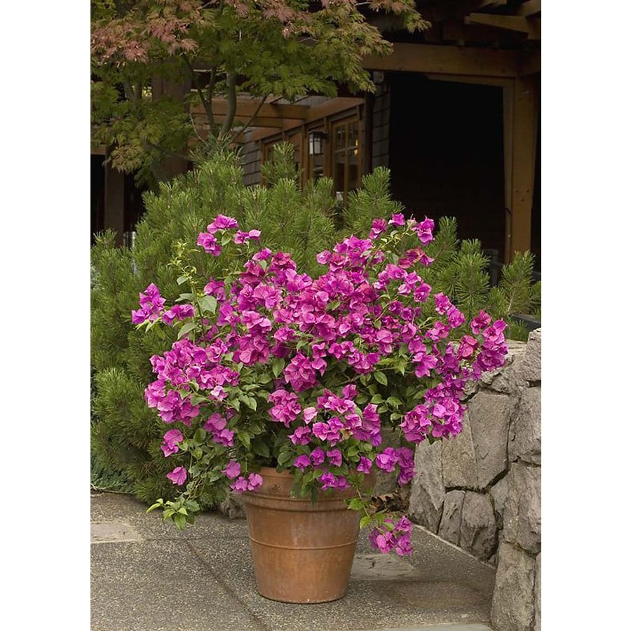 Monrovia 2.6 Quart- Purple Queen  Bougainvillea