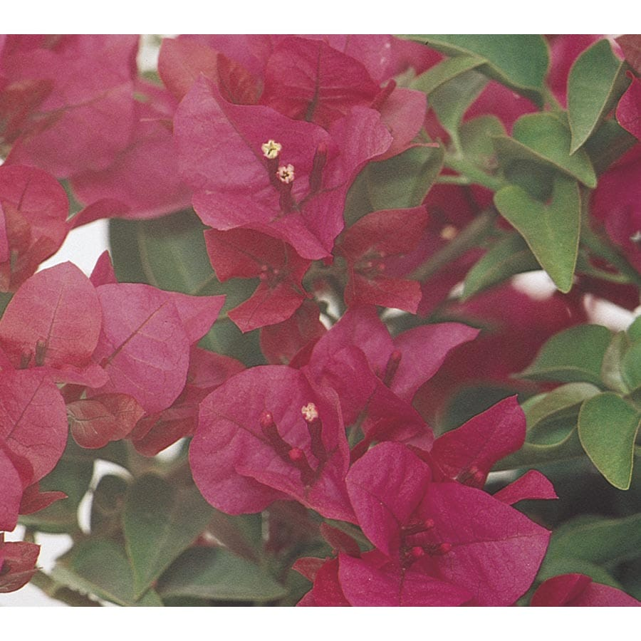 Monrovia 3.58-Gallon Red Little Red Bougainvillea Flowering Shrub (L4649)