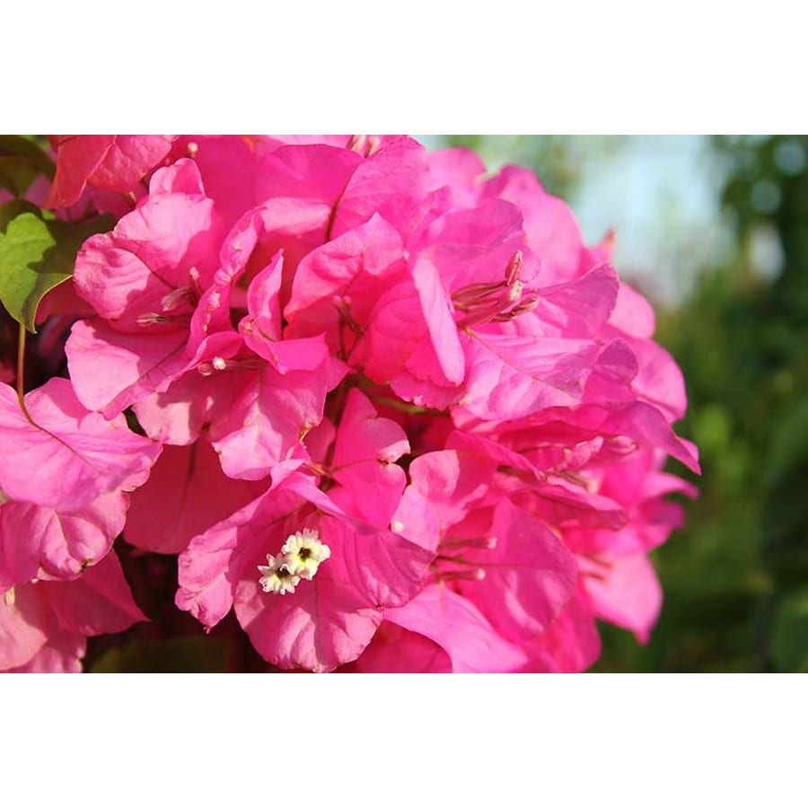 Monrovia 2.6 Quart- James Walker Bougainvillea