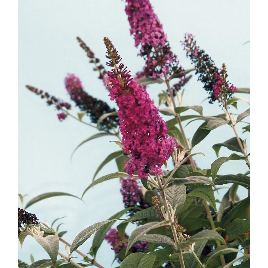 Monrovia 3.58-Gallon Red Royal Red Patio Tree Butterfly Bush Flowering Shrub (L24437)