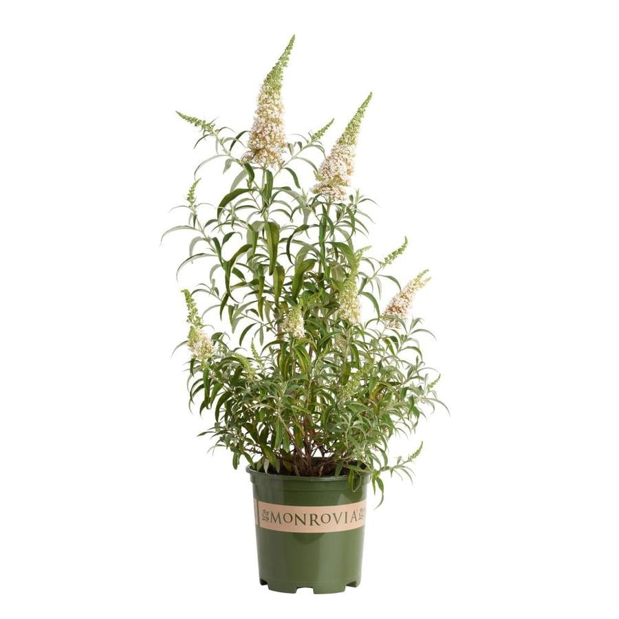 Monrovia 1.6-Gallon White Petite Snow Butterfly Bush Flowering Shrub