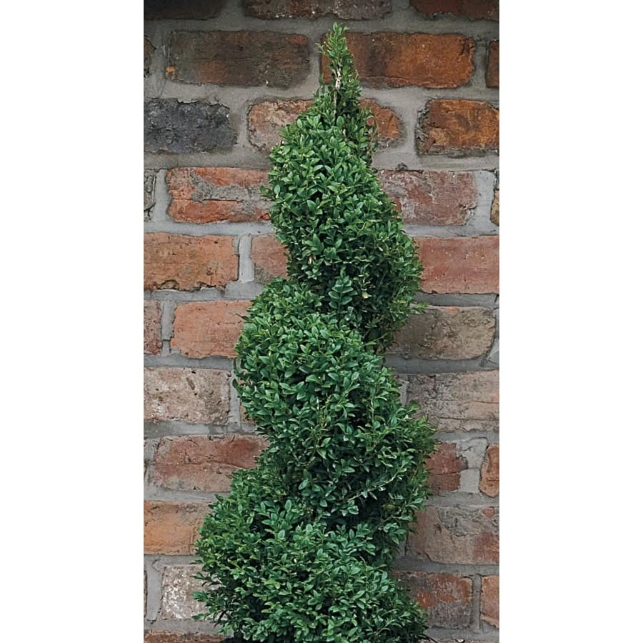 Monrovia 3.58-Gallon Yellow Green Mountain Conical Boxwood Feature Shrub (L24374)
