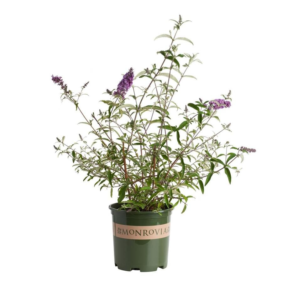Monrovia 1.6-Gallon Purple Petite Plum Dwarf Butterfly Bush Flowering Shrub