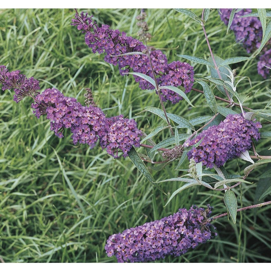 Monrovia 2.6-Quart Lavender Dwarf Blue Butterfly Bush Flowering Shrub (L24429)