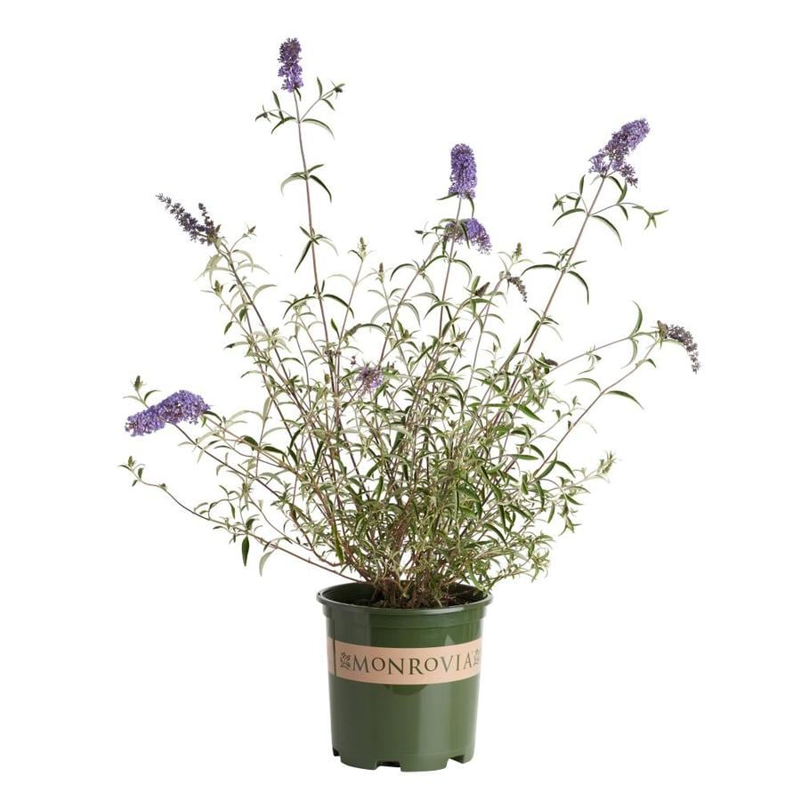 Monrovia 1.6-Gallon Lavender Dwarf Butterfly Bush Flowering Shrub