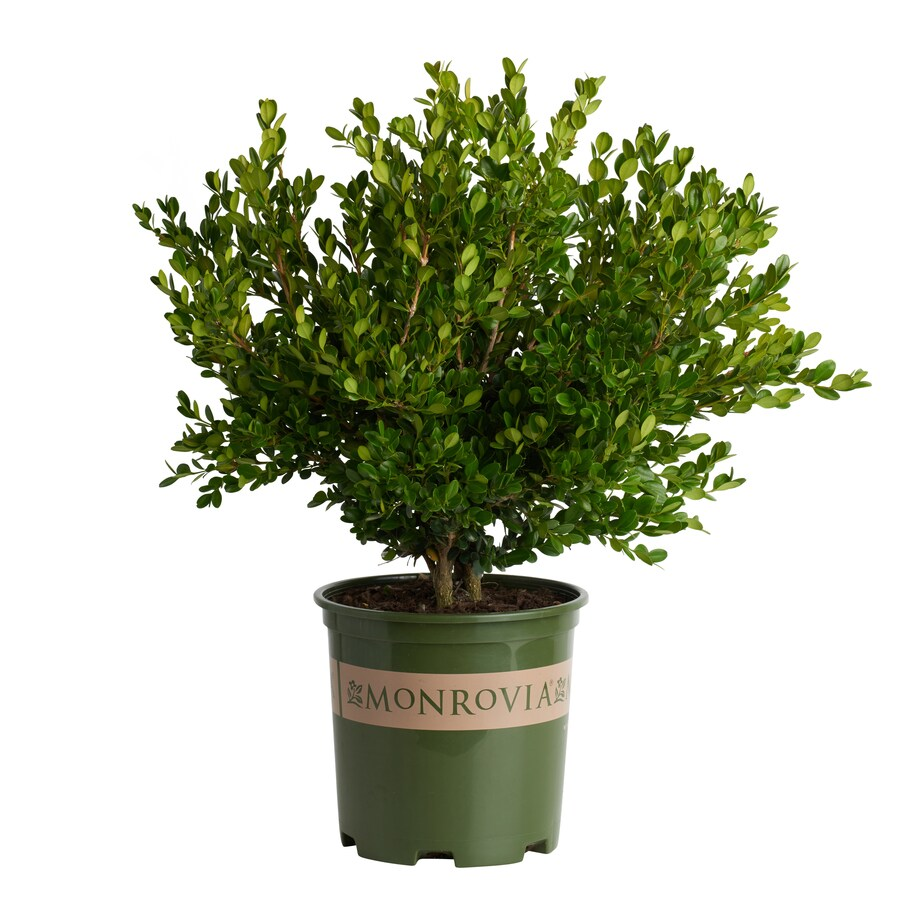 Monrovia 3 58 Gallon Boxwood Winter Gem Foundation Hedge Shrub In Pot In The Shrubs Department At Lowes Com