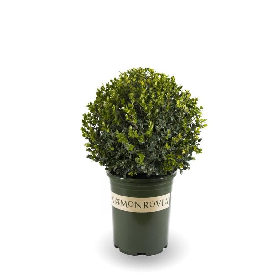 Monrovia 3.58-Gallon Yellow Winter Gem Globe Boxwood Feature Shrub (L24377)