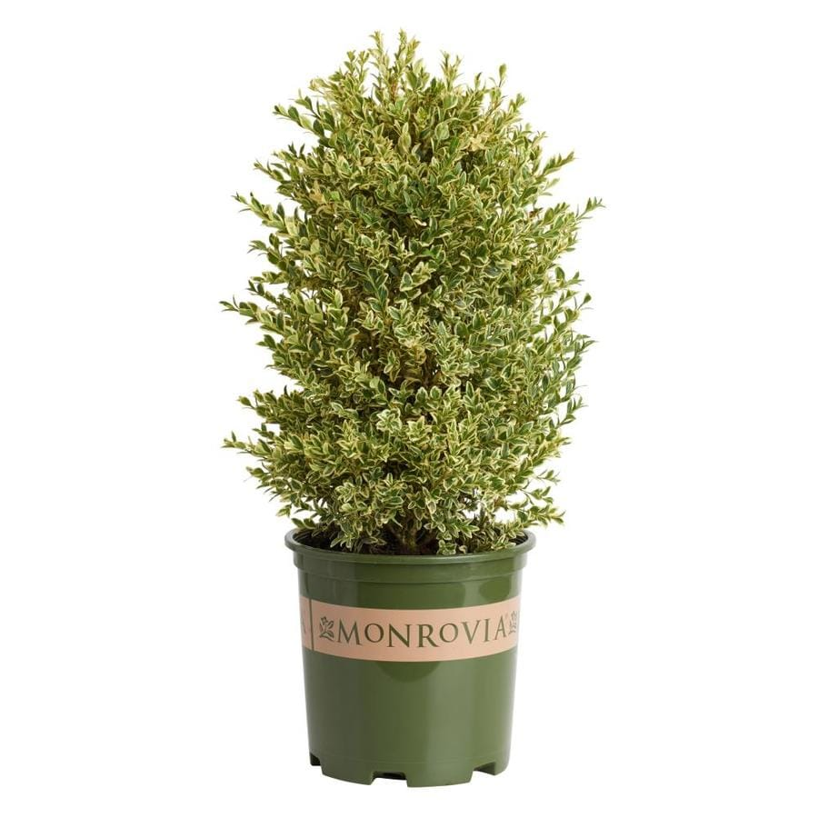 Monrovia 1.6-Gallon Variegated English Boxwood Flowering Shrub