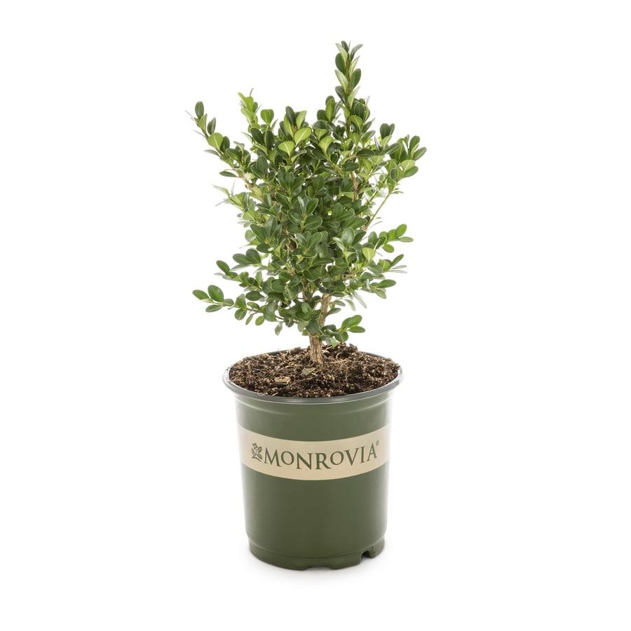 Monrovia 2.6-Quart Green Beauty Boxwood Foundation/Hedge Shrub