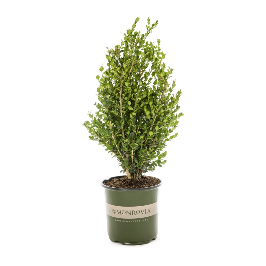 Monrovia 1.6-Gallon Green Beauty Boxwood Foundation/Hedge Shrub