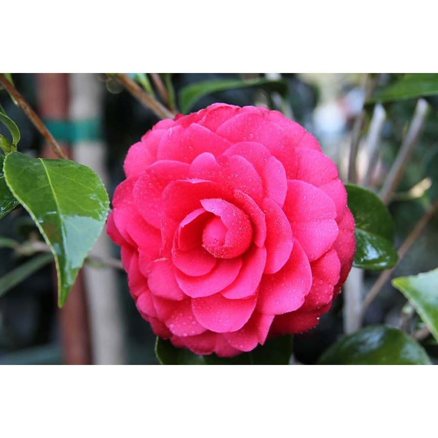Monrovia 3.58-Gallon Red Colonel Firey Camellia Flowering Shrub