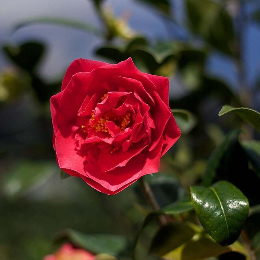 Monrovia 3.58-Gallon Red Kramer's Supreme Camellia Flowering Shrub