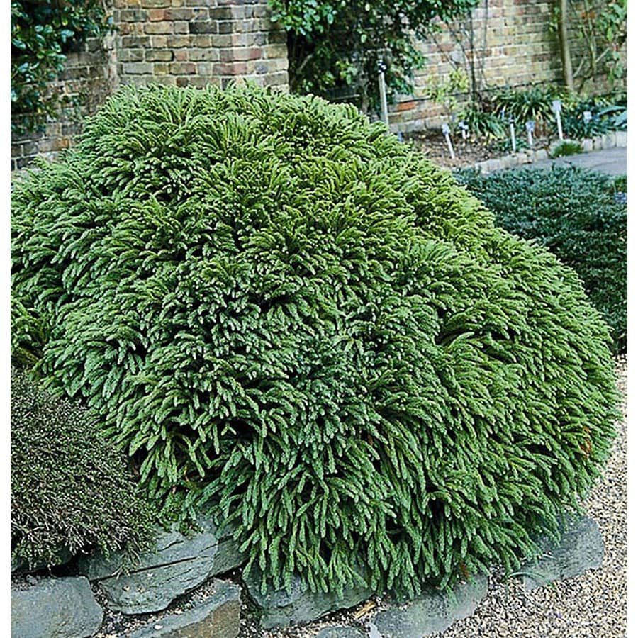 Monrovia 2.8-Gallon Dwarf Japanese Cedar Foundation/Hedge Shrub
