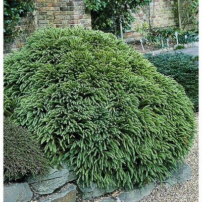 Monrovia Dwarf Japanese Cedar Foundation Hedge Shrub In Pot With