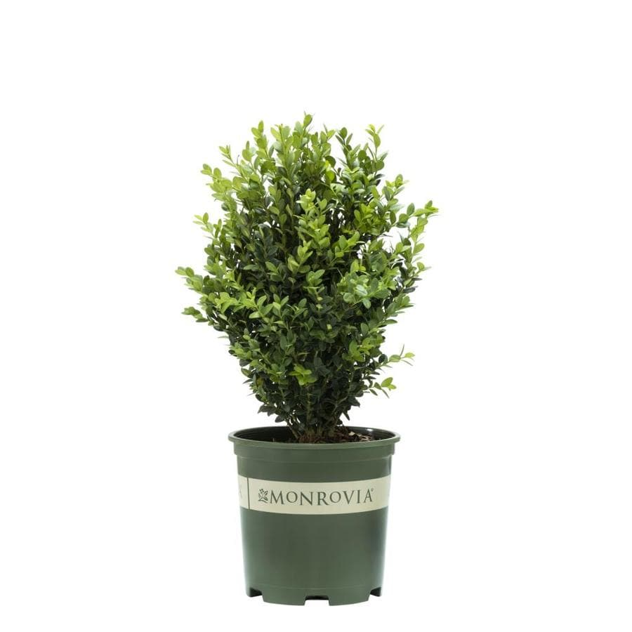 Monrovia 1.6-Gallon Yellow Green Tower Boxwood P15243 Flowering Shrub
