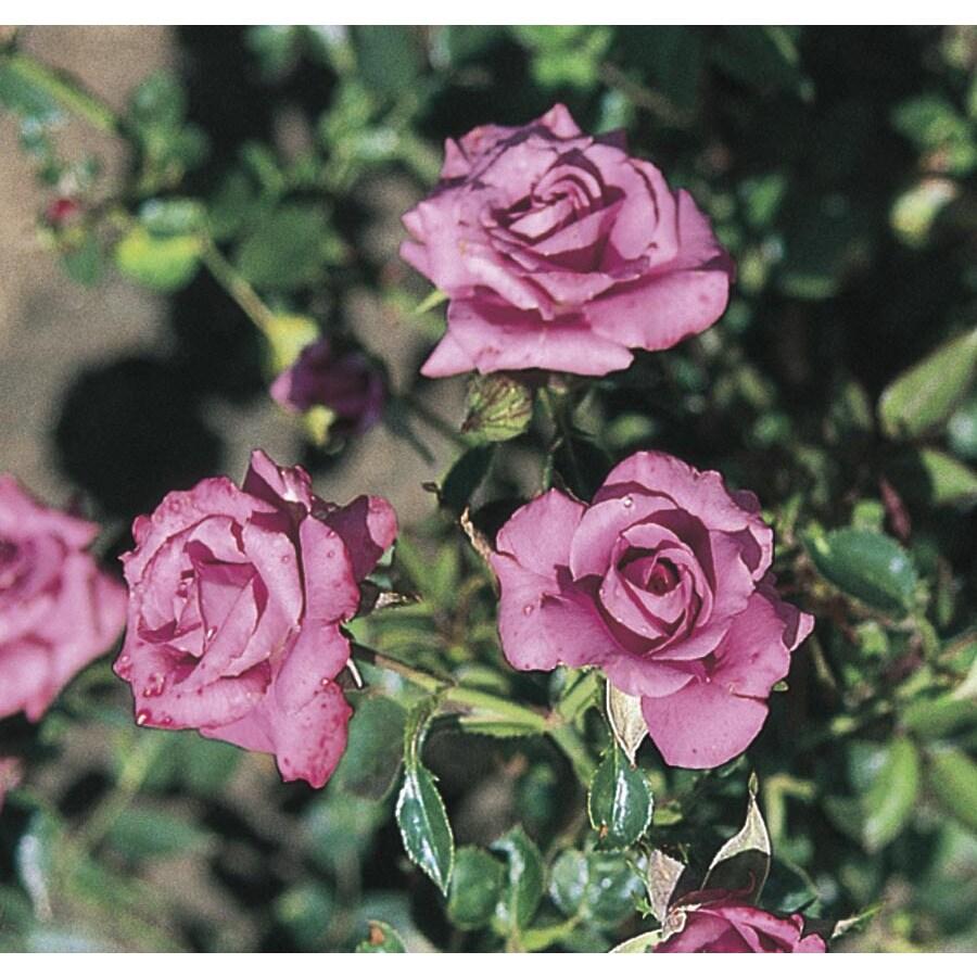 Monrovia 1.6-Gallon Lavender Sunblaze Rose (L24835)