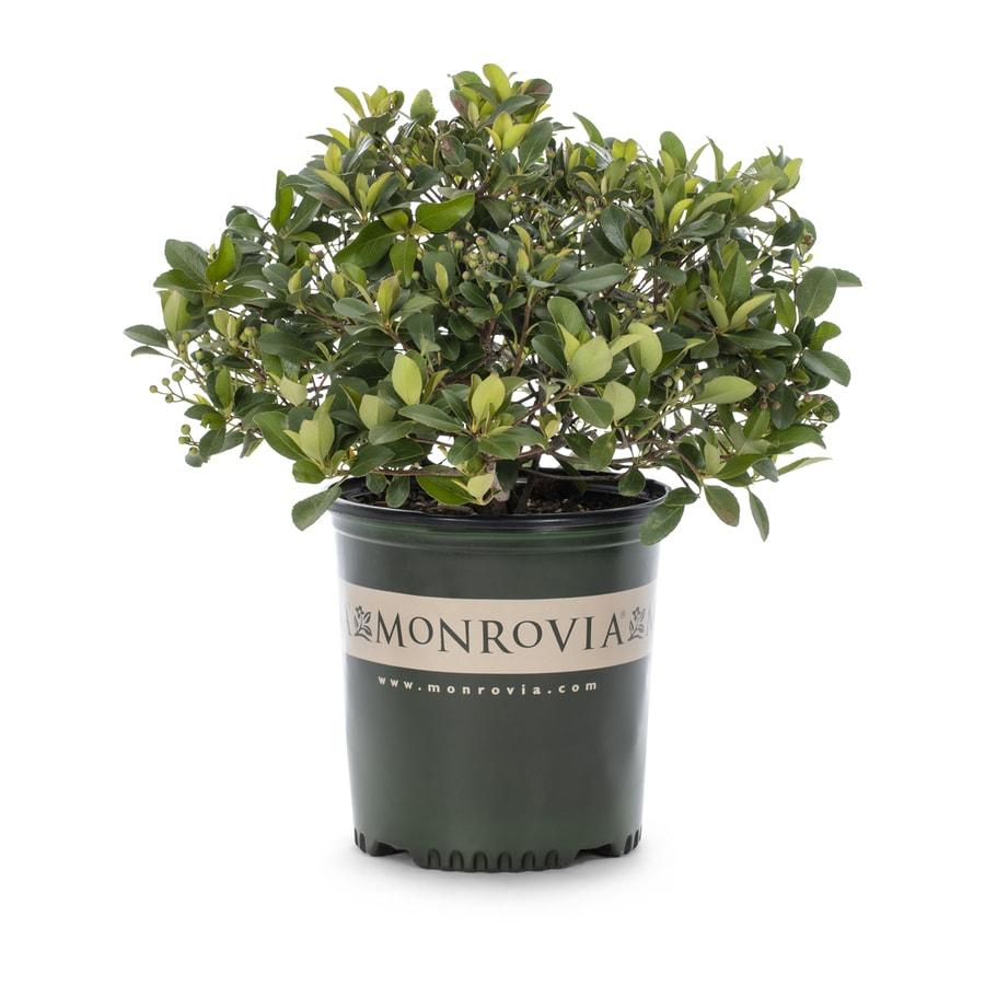 Monrovia 1.6-Gallon White Snowcap Indian Hawthorn P15544 Flowering Shrub