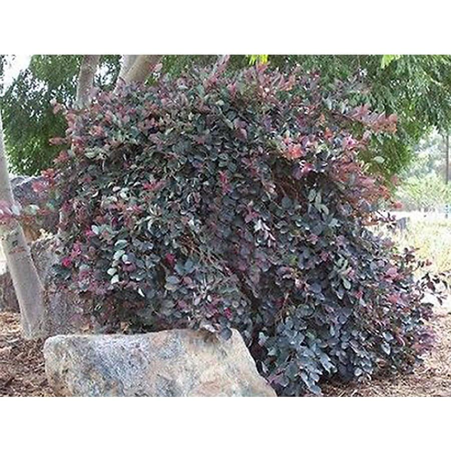 Monrovia 1.6-Gallon Pink Pipa's Red Chinese Fringe Flower Flowering Shrub