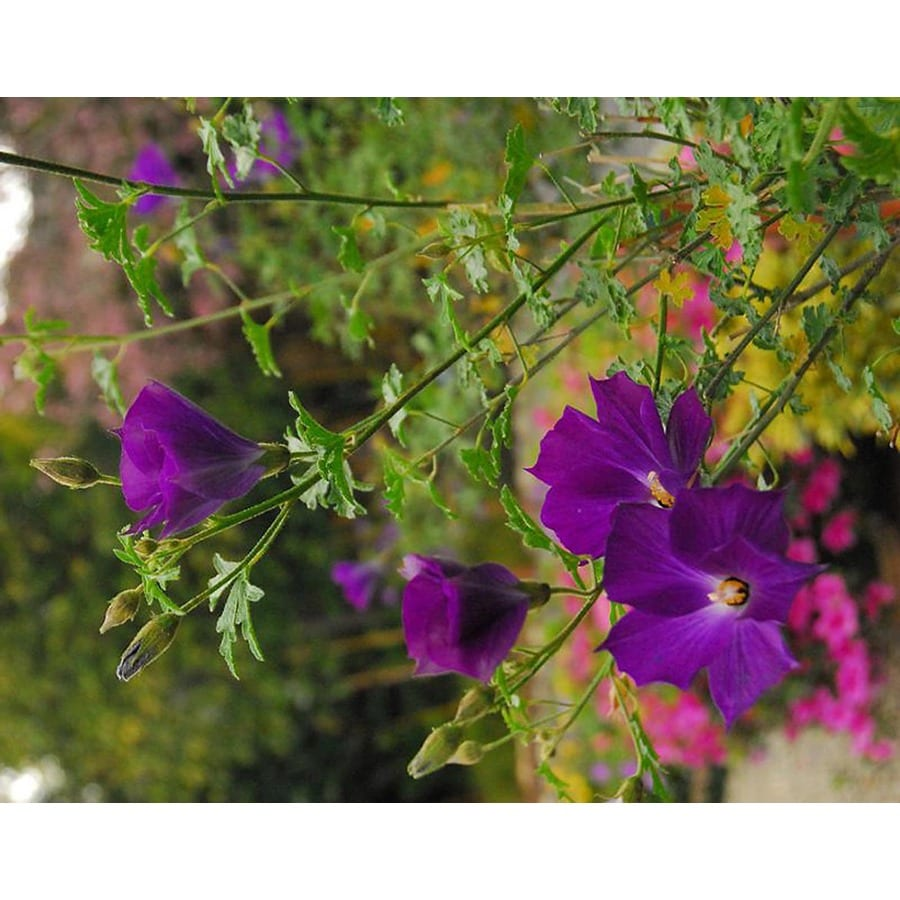 Monrovia 2.6-Quart Purple Leon's Purple Delight Lilac Hibiscus Flowering Shrub