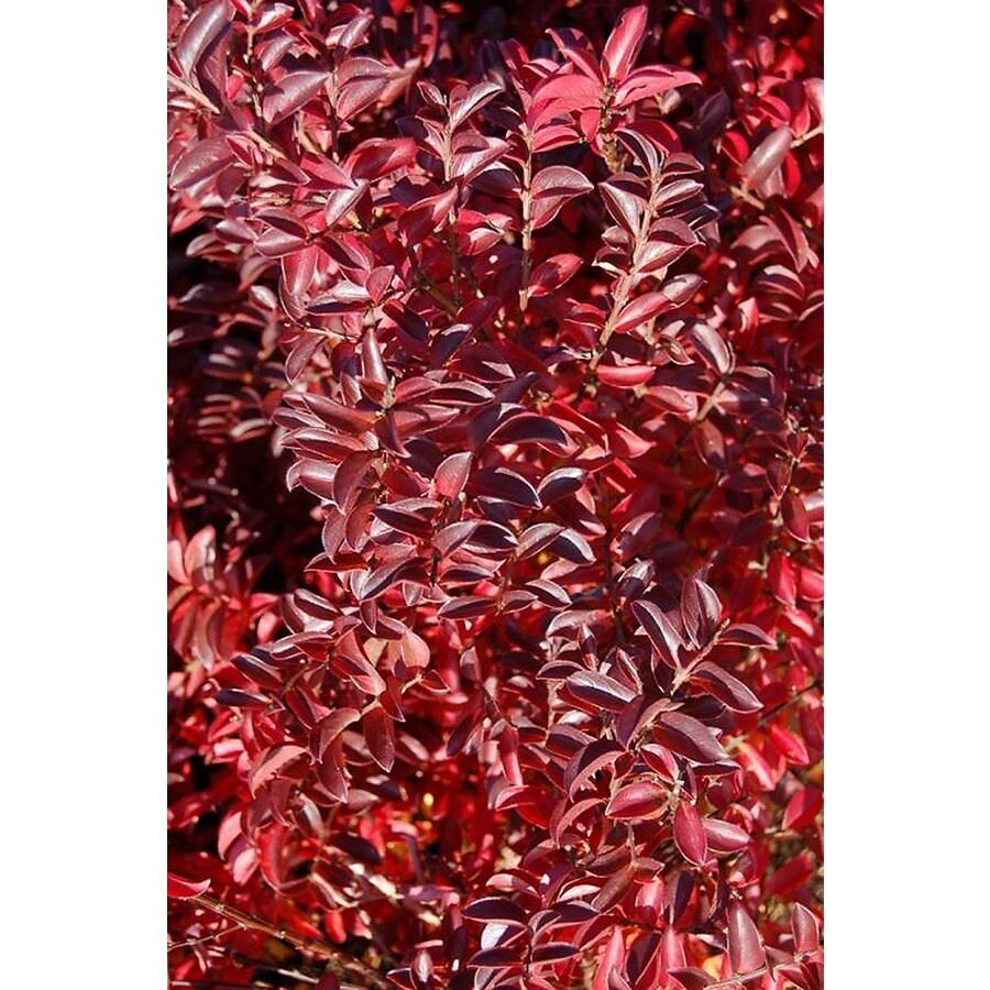 Monrovia 3.58-Gallon Red Raspberry Dazzle Crape Myrtle P17216 Flowering Shrub