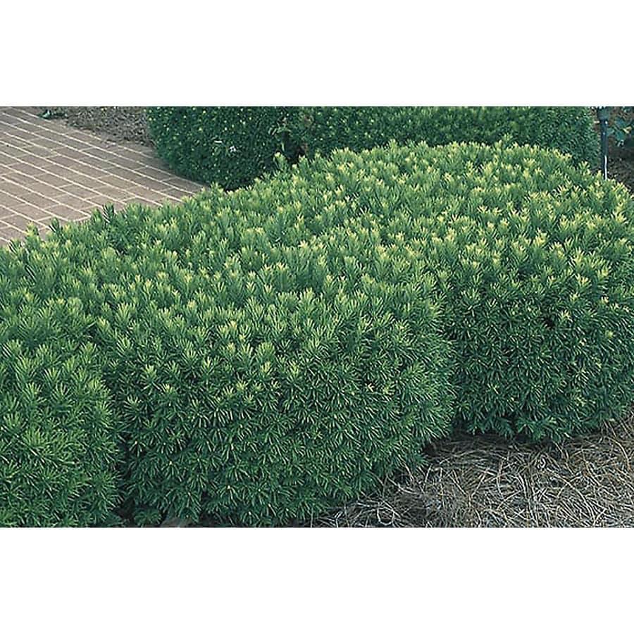 Monrovia 1.6-Gallon Japanese Plum Yew Foundation/Hedge Shrub