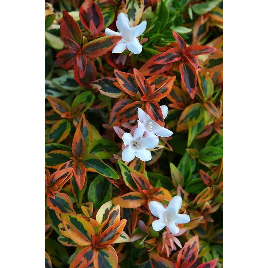 Monrovia 2.8-Gallon White Kaleidoscope Abelia P16988 Flowering Shrub