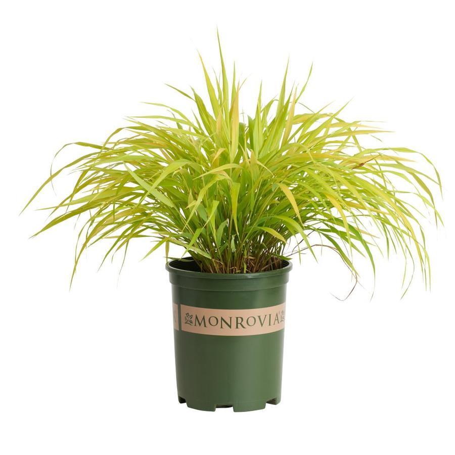 Monrovia 3-Quart All Gold Japanese Forest Grass