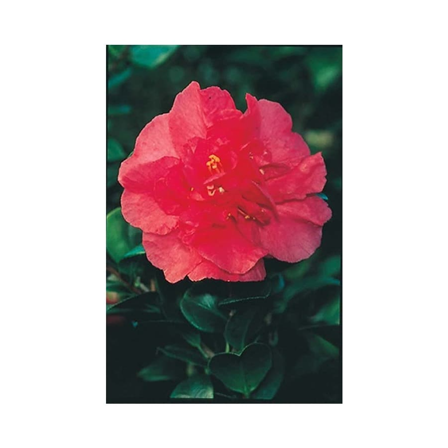 Monrovia 3.58-Gallon Red Bonanza Camellia Flowering Shrub