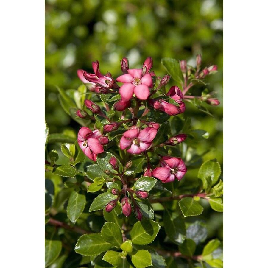 Monrovia 2.6-Quart Pink Compact Escallonia Flowering Shrub