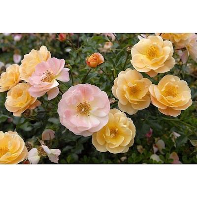 Monrovia In Potted Orange Flower Carpet Amber Groundcover Rose